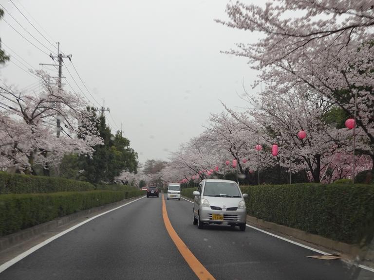 茨木市の桜通り